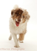 Red merle Cadoodle puppy, 10 weeks old, trotting
