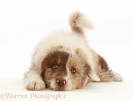 Red merle Cadoodle puppy, 10 weeks old, chin on floor