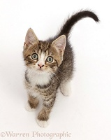 Tabby kitten with big eyes, sitting and looking up