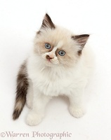 Persian-x-Ragdoll kitten, 7 weeks old, sitting and looking up