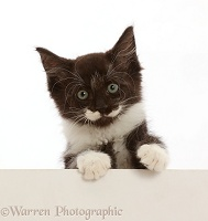 Black-and-white kitten, 8 weeks old, paws over