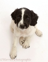 Working English Springer Spaniel puppy, 7 weeks old