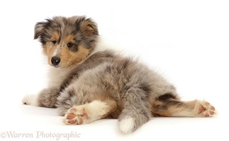 Rough Collie puppy lying spread out, looking over shoulder