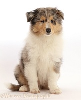 Rough Collie puppy sitting