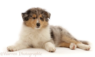 Rough Collie puppy, lying with head up