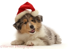 Rough Collie puppy, wearing a Santa hat