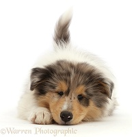 Rough Collie puppy, lying with chin on the floor