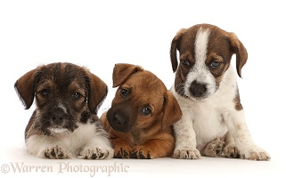 Three Jack Russell x Border Terrier puppies