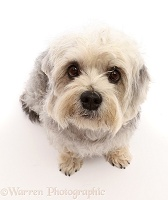 Dandie Dinmont Terrier, sitting looking up