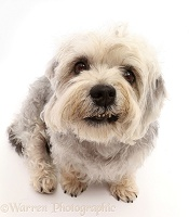 Dandie Dinmont Terrier, sitting looking up with lop-sided smile
