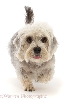 Dandie Dinmont Terrier, walking