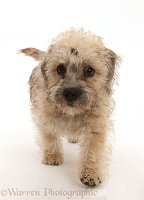Mustard Dandie Dinmont Terrier puppy, walking