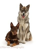 Brown-and-sable Australian Kelpie puppy & Husky-x dog