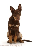 Brown-and-sable Australian Kelpie puppy, 4 months old
