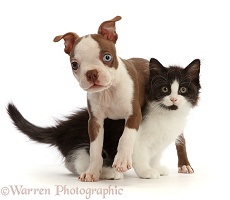 Brown-and-white Boston Terrier pup with Black-and-white kitten