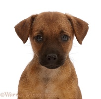 Brown Jack Russell x Border Terrier puppy
