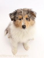 Rough Collie puppy sitting and looking up