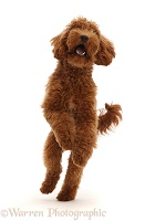 Australian Labradoodle, jumping up