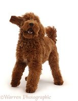 Australian Labradoodle, standing and barking