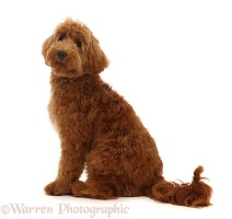Australian Labradoodle, sitting and looking over shoulder