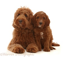 Australian Labradoodle and puppy