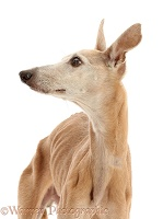 Elderly rescue whippet, 15 years old, in profile