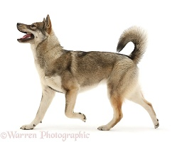 Husky-cross dog walking