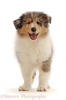 Rough Collie puppy standing