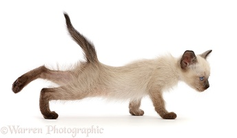 Siamese x Ragdoll kitten, 7 weeks old, stretching