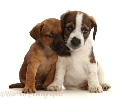 Two Jack Russell x Border Terrier puppies
