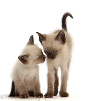Two Siamese x Ragdoll kittens, 7 weeks old, close faces