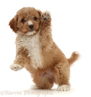 Red Cavapoo dog puppy, 8 weeks old, jumping up and waving