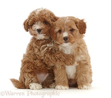 Two red Cavapoo dog puppies, 8 weeks old, hugging