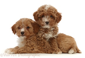 Two red Cavapoo dog puppy, 8 weeks old,