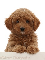 Red Cavapoo dog puppy, 8 weeks old, paws up