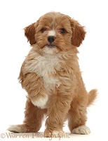 Red Cavapoo puppy, 8 weeks old, standing with raised paw