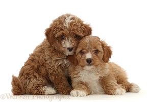 Two red Cavapoo dog puppy, 8 weeks old, snuggling