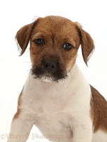 Jack Russell x Border Terrier puppy