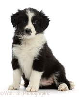 Black-and-white Border Collie puppy, sitting