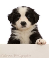 Black-and-white Border Collie puppy, paw over