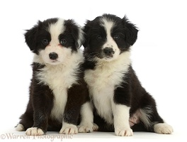 Two Black-and-white Border Collie puppies, sitting