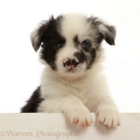 Border Collie puppy, with cleft palate and semi split nose