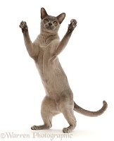 Blue Burmese cat standing up and reaching with both paws
