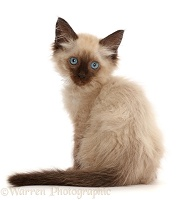 Ragdoll-cross kitten, 8 weeks old, looking over shoulder