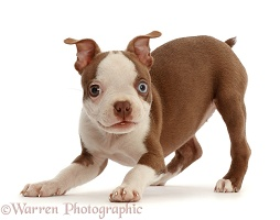 Playful Boston Terrier Puppy
