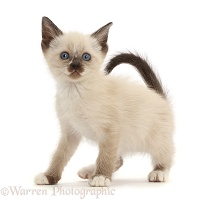 Siamese x Ragdoll kitten, 7 weeks old