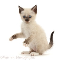 Siamese x Ragdoll kitten, 7 weeks old, playfully grasping