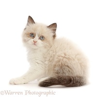 Persian-x-Ragdoll kitten, 7 weeks old, looking over shoulder