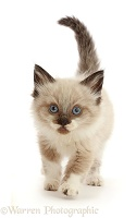 Ragdoll-cross kitten, 6 weeks old, walking