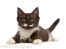 Characterful smoke Black-and-white kitten